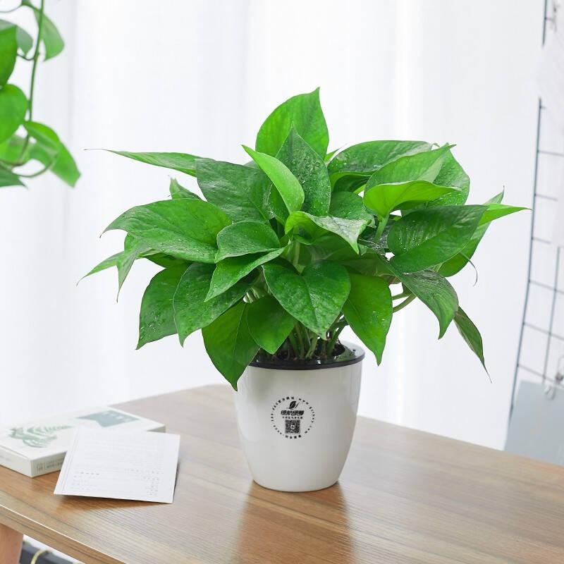 四季常青又耐寒的盆栽植物推荐