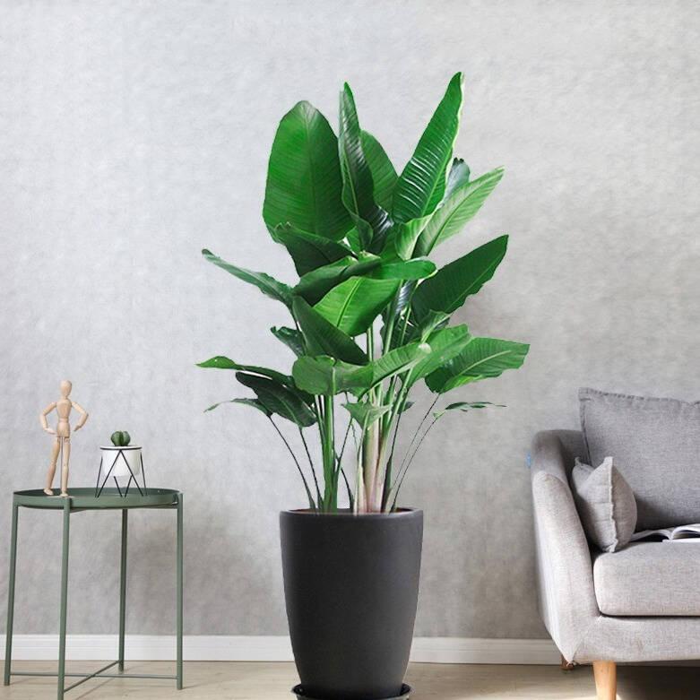 家里最好养的大型绿植